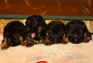 09_Puppies_Uragan_Udachnaya_BG