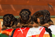 10_Puppies_Uragan_Udachnaya_BG