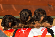 11_Puppies_Uragan_Udachnaya_BG