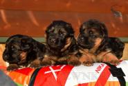 11_Puppies_Uragan_Udachnaya_BG