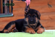 13_Puppies_Uragan_Udachnaya_CH-FLOJD