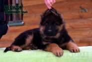 14_Puppies_Uragan_Udachnaya_CHEJNDZH_LH