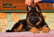 01_Puppies_Umaro_Cikuta_NORTON_LH