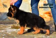 02_Puppies_Umaro_Cikuta_NORTON_LH