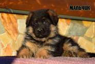 21_Puppies_Vargas_Viagra_BOY