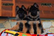 25_Puppies_Vargas_Viagra_RAVELLO_ROMANO