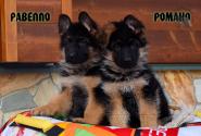 26_Puppies_Vargas_Viagra_RAVELLO_ROMANO