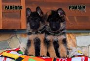 27_Puppies_Vargas_Viagra_RAVELLO_ROMANO