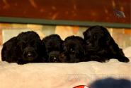 04_Puppies_JV_Verso_BG