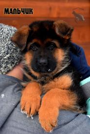 01_Puppies_Uragan_Tsilma_BOY