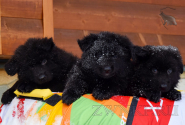 02_Puppies_King_Imidzha_BG_BL