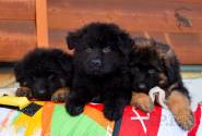 04_Puppies_King_Imidzha_BG