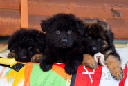 05_Puppies_King_Imidzha_BG