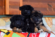 06_Puppies_King_Imidzha_BG