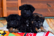 07_Puppies_King_Imidzha_BG