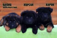 12_Puppies_King_Imidzha_HAJNC_HIRSAN_HARON_LH