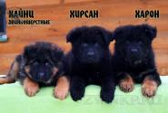 13_Puppies_King_Imidzha_HAJNC_HIRSAN_HARON_LH
