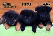 14_Puppies_King_Imidzha_HAJNC_HIRSAN_HARON_LH