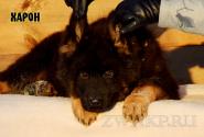 15_Puppies_King_Imidzha_HARON_LH