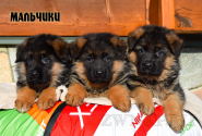 14_Puppies_Uragan_Zejna_BOYS