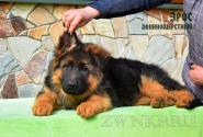 19_Puppies_Uragan_Zejna_EROS_LH