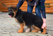 20_Puppies_Uragan_Zejna_EROS_LH