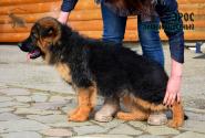 21_Puppies_Uragan_Zejna_EROS_LH