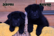 14_Puppies_Mike_Zebra_BOY_GIRL_BL