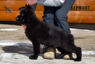 20_Puppies_Mike_Zebra_VERMONT_BL