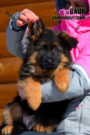 21_Puppies_Mike_Zebra_VAYK_LH