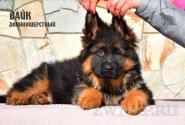 22_Puppies_Mike_Zebra_VAYK_LH