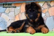 01_Puppies_Vaiko_Mira_VIKING_LH