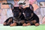 02_Puppies_Uragan_Kharby_DZHAMBO_DZHEF
