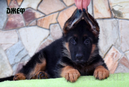 04_Puppies_Uragan_Kharby_DZHEF