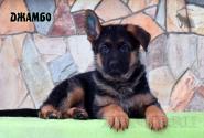 05_Puppies_Uragan_Kharby_DZHAMBO