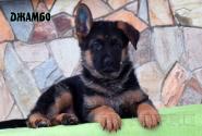 06_Puppies_Uragan_Kharby_DZHAMBO
