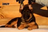 08_Puppies_Uragan_Kharby_DZHEF
