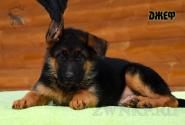 09_Puppies_Uragan_Kharby_DZHEF