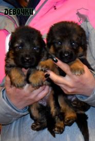 02_Puppies_Uragan_Yosha_GIRLS