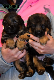 03_Puppies_Uragan_Yosha_GIRLS