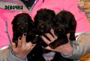 04_Puppies_Uragan_Yosha_GIRLS