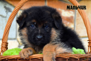 09_Puppies_Uragan_Yosha_BOY