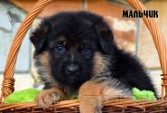 09_Puppies_Uragan_Yosha_BOY