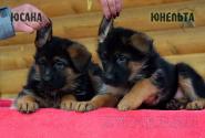 10_Puppies_Uragan_Yosha_YUSANA_YUNELTA