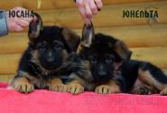 11_Puppies_Uragan_Yosha_YUSANA_YUNELTA