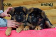 13_Puppies_Uragan_Yosha_YUSANA_YUNELTA
