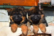 04_Puppies_Garry_Shveciya_DINGA_DZHANGA_LH