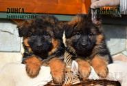 04_Puppies_Garry_Shveciya_DINGA_DZHANGA_LH