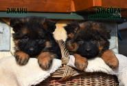 06_Puppies_Garry_Shveciya_DZHANY_DZHEYRA_LH