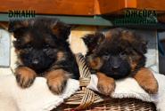 07_Puppies_Garry_Shveciya_DZHANY_DZHEYRA_LH